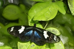 doris-longwing