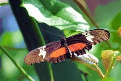 mexican-longwing