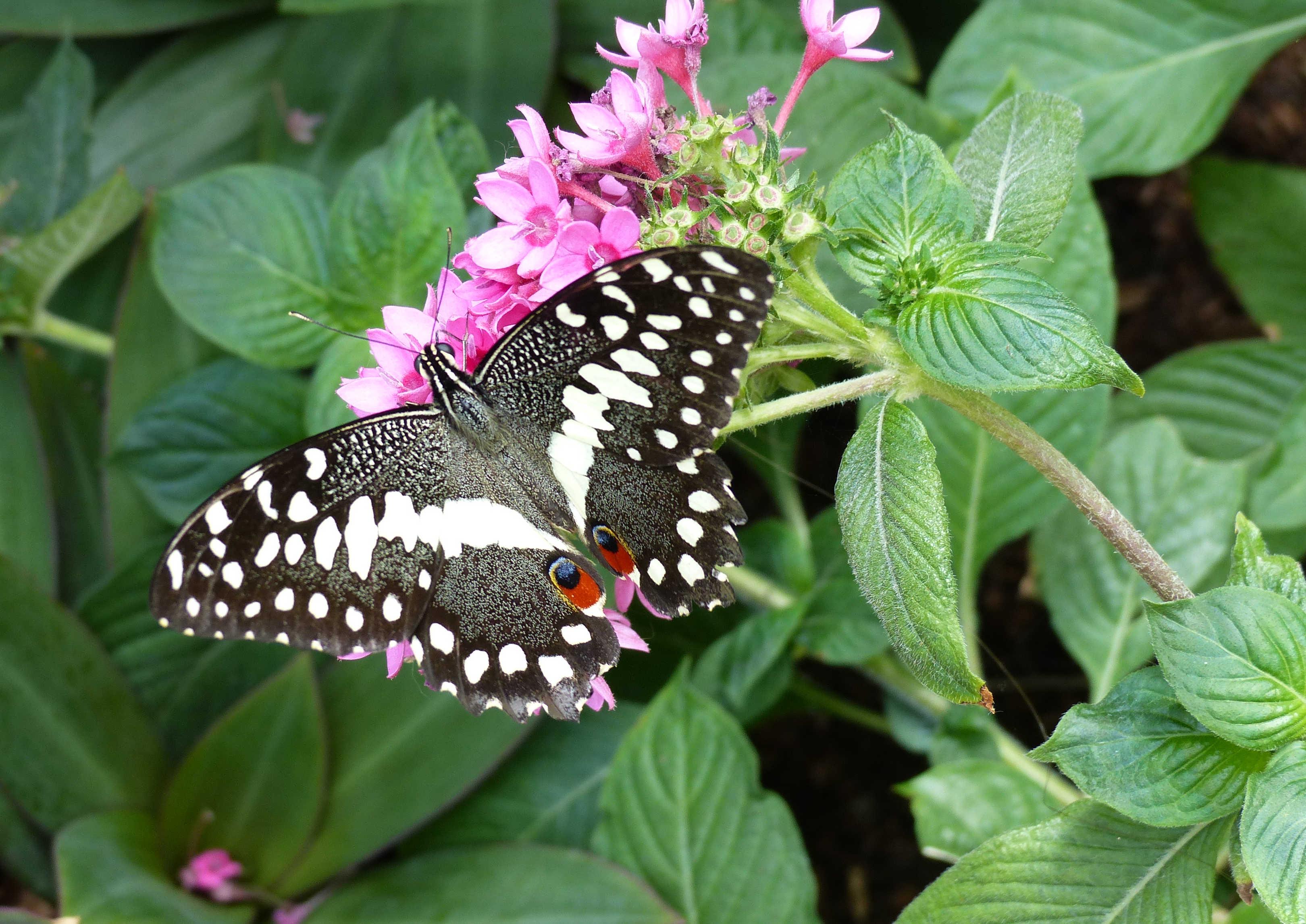 BW-BlackSwallowtail