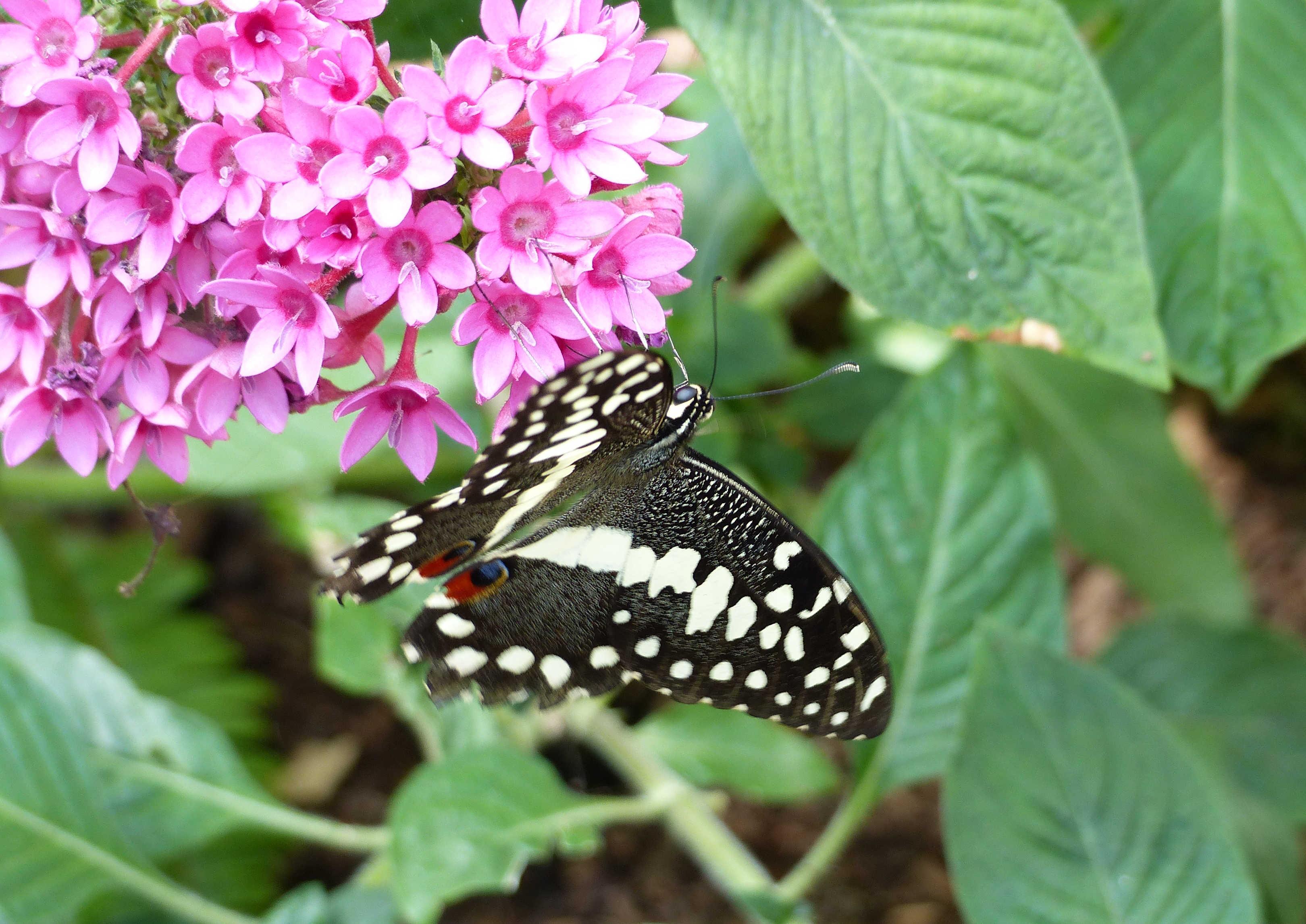 BW-EasternBlackSwallowtailOnEgyptianStarcluster