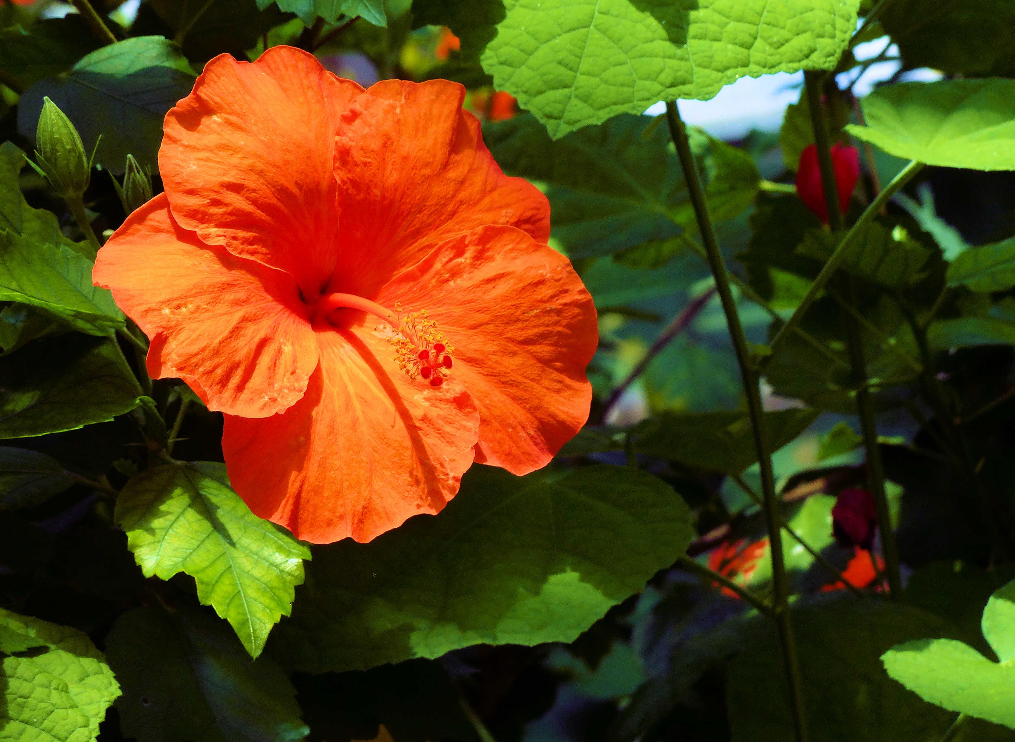 BW-Hibiscus2