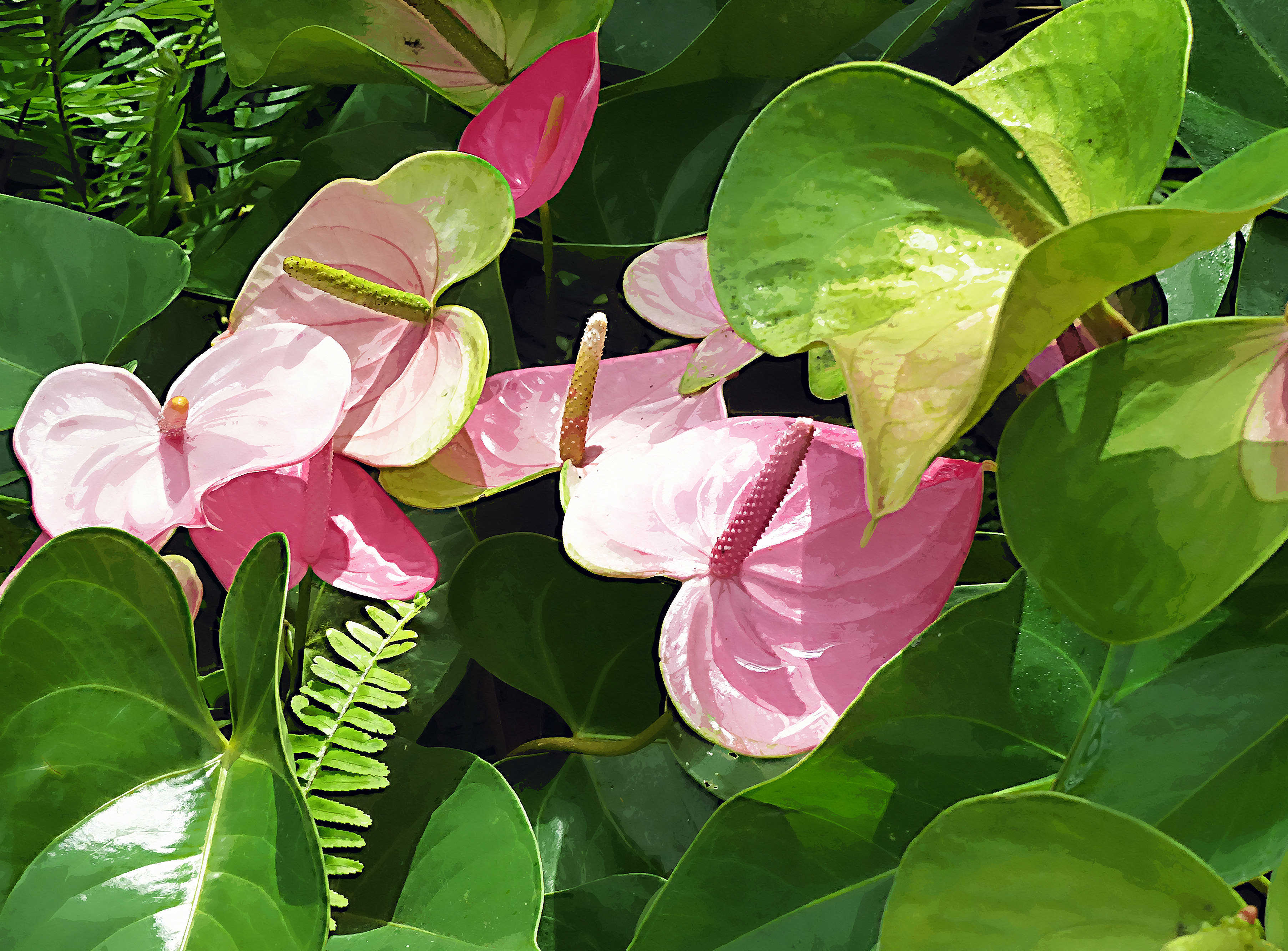 BW-PinkAnthuriums2