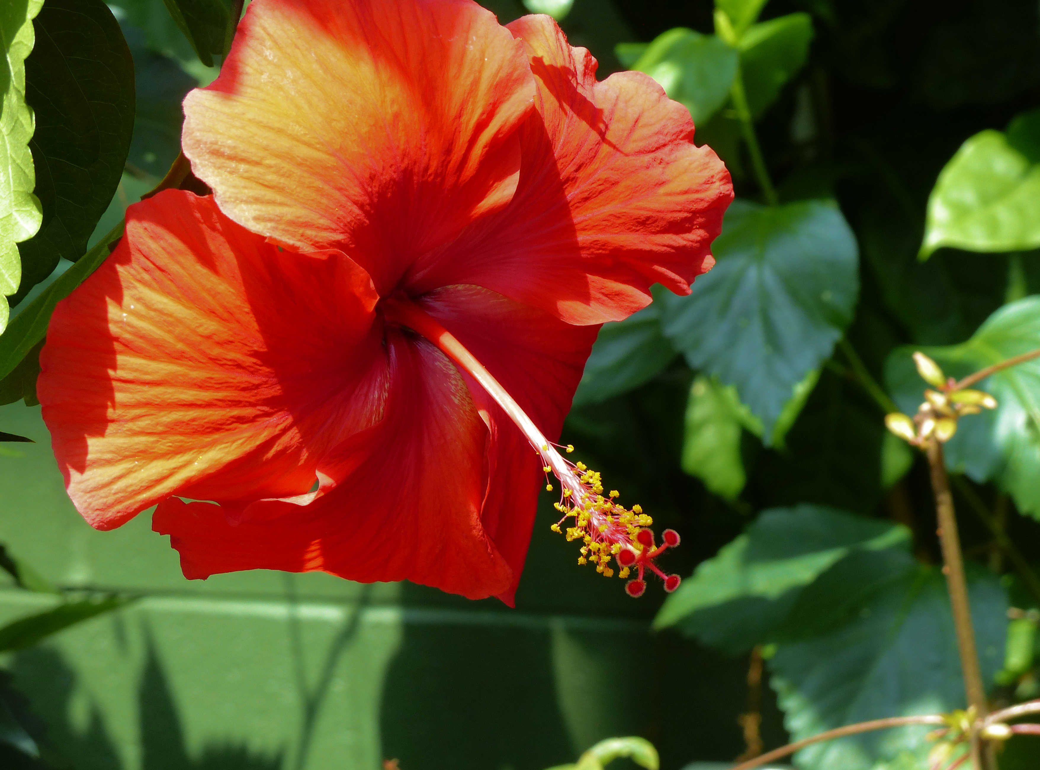 BW-RedHibiscus