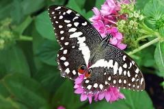 BW-BlackSwallowtail2
