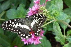 BW-BlackSwallowtail3