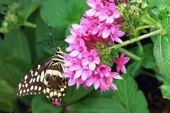 BW-BlackSwallowtail4