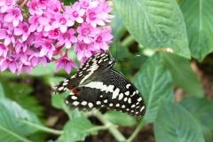 BW-BlackSwallowtailOnEgyptianStarcluster