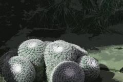 Cactus-Mammillaria_perbella