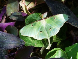 Luna Moth at Desert Botanical Garden