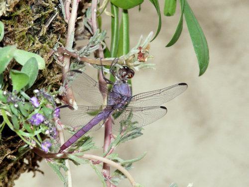 500-cmdragonfly-1