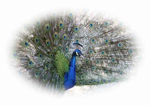 Peacock at Wildlife World Zoo & Aquarium