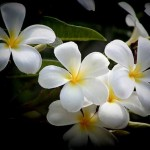 500-whiteplumeria