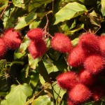 Annatto is derived from the seeds of the achiote trees