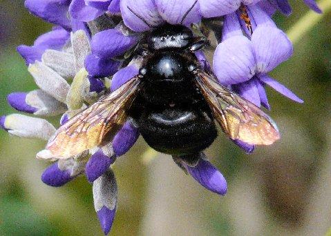 Bee at Desert Botanical Garden