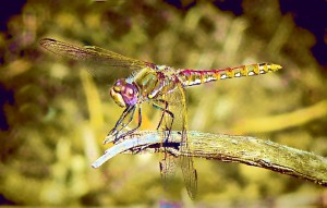 dragonfly-airbrush