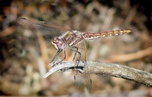 dragonfly-edge