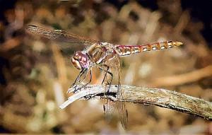 dragonfly-gouache