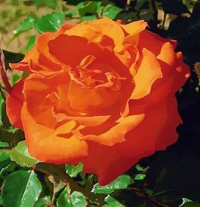 gold-orangerose-2