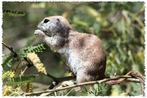 Ground Squirrel: Desert Botanical Garden