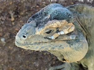 iguana-2