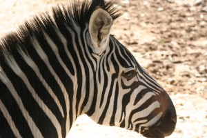 Zebra at Wildlife World Zoo by Judy Vorfeld