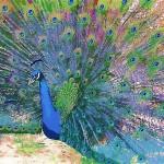 peacock-2dbg050108dbg050108