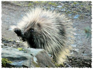 porcupine-10003