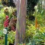 Rainbow eucalyptus tree trunk at McBryde Garden Self-Guided Tour in Po'ipu, Koloa