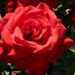 Sun City Red Rose