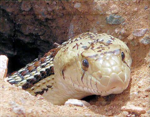 Snake at Desert Botanical Garden