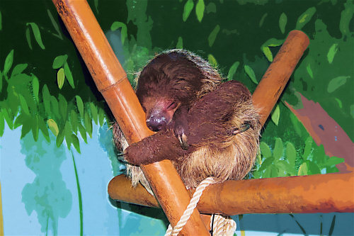 Sweet little sleeping sloth photographed at Wildlife World Zoo and redigitized by Judy Vorfeld.