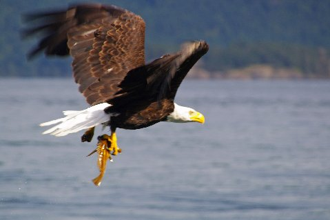 Happy bald eagle heading for nest in the San Juan Islands