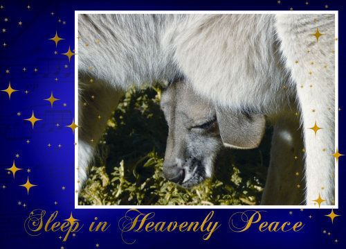 Christmas card of little kangaroo (joey) asleep in its mother's pouch photographed by Judy Vorfeld. Card designed by Elsbeth Oggert