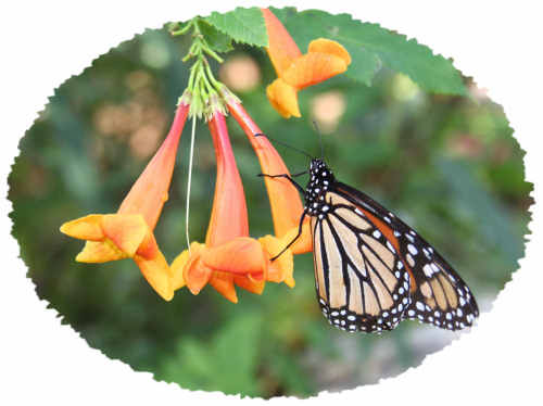 Monarch Butterfly taken at Desert Botanical Garden by Judy Crook Vorfeld