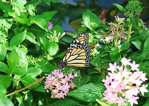 Judy Vorfeld 's photo of a Monarch butterfly at Desert Botanical Garden