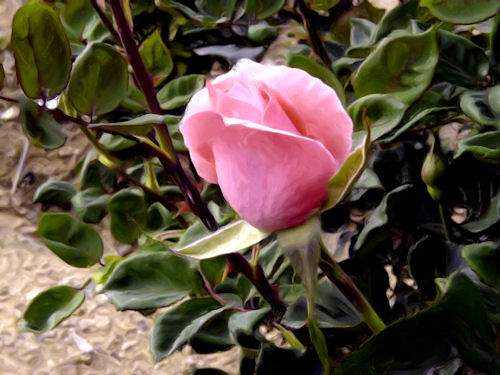 Pink Rosebud at Sahuaro Ranch Park Photographed and redigitized by Judy Vorfeld