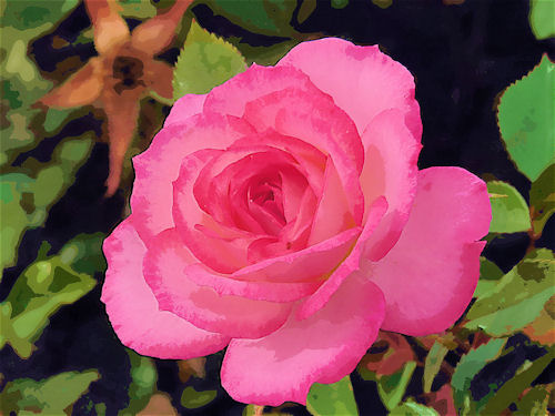 Pink Rose at Sahuaro Ranch Park Photographed and redigitized by Judy Vorfeld