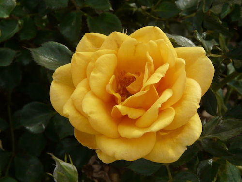 Yellow Rose at Sahuaro Ranch Park Photographed and redigitized by Judy Vorfeld